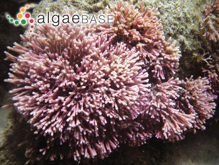 Cladophora dichotomo-divaricata P.Crouan & H.Crouan