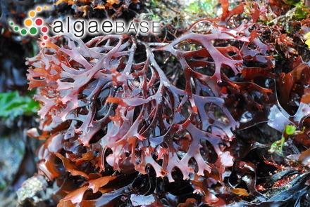 Cladophora intertexta Collins