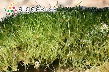 Cladophora longicellulata C.Hoek