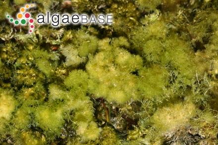 Cladophora submarina P.Crouan & H.Crouan