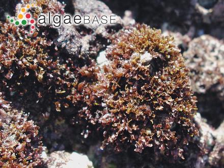 Cladophoropsis macromeres W.R.Taylor