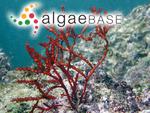 Gracilaria aculeata (Hering) Papenfuss