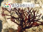 Gracilaria corticata (J.Agardh) J.Agardh