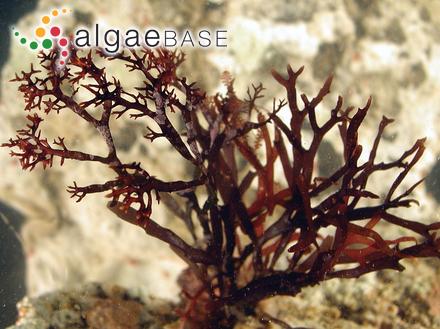 Caulerpa cupressoides var. ericifolia (Turner) Weber Bosse