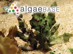 Gracilaria denticulata F.Schmitz ex Mazza