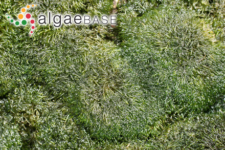 Caulerpa fastigiata var. confervoides P.Crouan & H.Crouan ex Weber Bosse