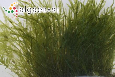 Caulerpa prolifera f. zosterifolia Børgesen