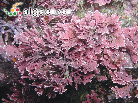 Caulerpa sertularioides f. brevipes (J.Agardh) Svedelius