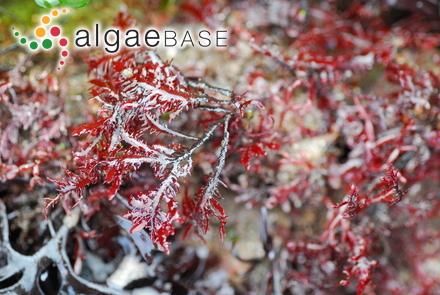 Avrainvillea longicaulis f. laxa D.S.Littler & Littler