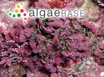 Metamastophora flabellata (Sonder) Setchell