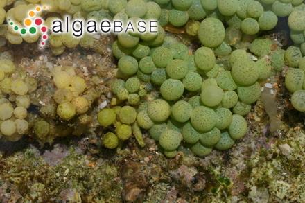 Rhipiliopsis profunda (Eiseman & S.Earle) J.N.Norris & S.Blair