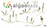 Caulerpa cylindracea Sonder