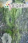 Rosenvingiella radicans (Kützing) Rindi, L.McIvor & Guiry