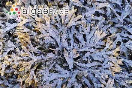 Udotea spinulosa f. palmettoidea A.Gepp & E.S.Gepp