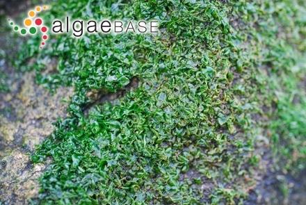Smithsoniella earleae (Gallaher & Humm) J.R.Searles & S.H.Brawley