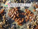 Petrospongium rugosum (Okamura) Setchell & N.L.Gardner