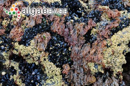 Acetabularia myriospora A.B.Joly & Cordeiro-Marino