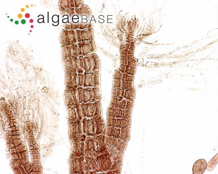 Chalmasia antillana Solms-Laubach
