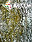 Trentepohlia rigidula (J.Müller) Hariot