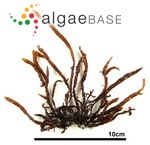 Gloiopeltis furcata (Postels & Ruprecht) J.Agardh