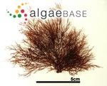 Pikea yoshizakii Maggs & B.A.Ward