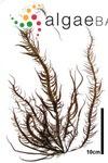 Grateloupia asiatica S.Kawaguchi & H.W.Wang