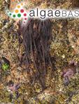Fucus elminthoides Velley