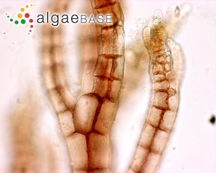 Cladothele striarioides (Skottsberg) A.D.Zinova