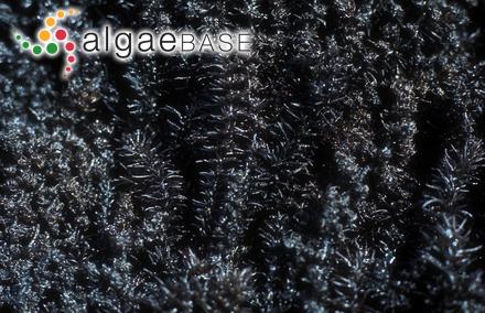 Sphacelaria limicola Lindauer