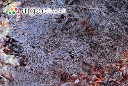 Grateloupia aucklandica Montagne