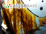 Saccharina japonica (Areschoug) C.E.Lane, C.Mayes, Druehl & G.W.Saunders