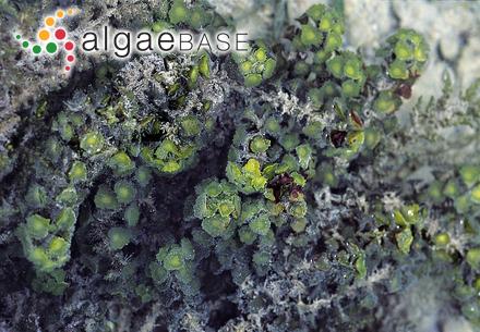 Chrysymenia ornata (J.Agardh) Kylin