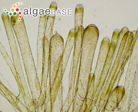 Apoglossum oppositifolium (Harvey) J.Agardh