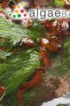 Pleurophycus gardneri Setchell & Saunders ex Tilden