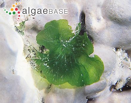 Sphacelaria bornetii Hariot