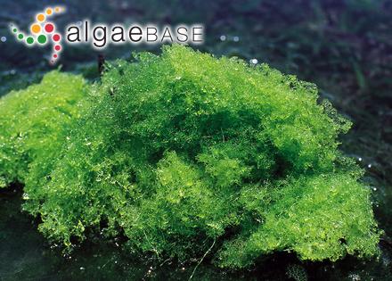Acrosorium corallinarum (Nott) Kylin