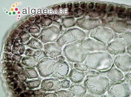 Apoglossum unguiculescens A.J.K.Millar