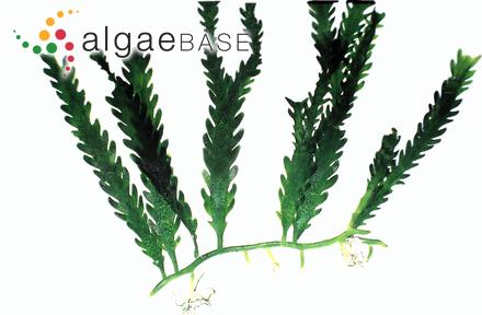 Ascophyllum mackayi (Turner) Holmes & Batters