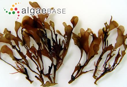 Calliblepharis ciliata f. angusta Holmes & Batters