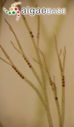 Polysiphonia denudata (Dillwyn) Greville ex Harvey