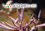 Scinaia capensis (Setchell) Huisman