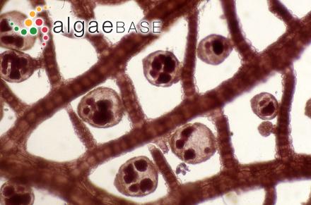 Fucus papillosus Forsskål