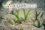 Halophila stipulacea (Forsskål) Ascherson