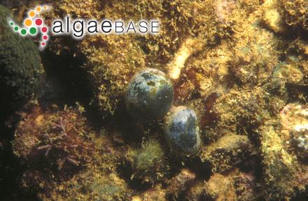 Lophosiphonia subadunca var. major (Zeller) comb.ined.