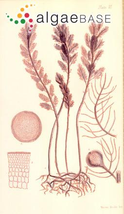 Asparagopsis sanfordiana Harvey