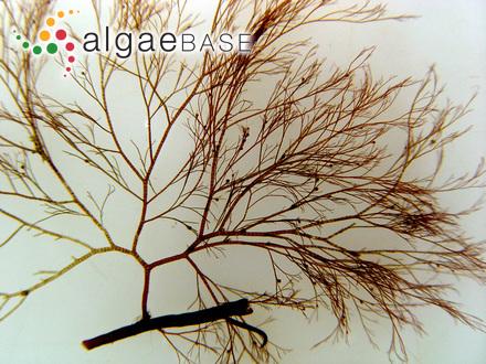 Chaetophora marina Lyngbye