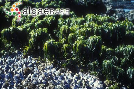 Amansia kuetzingioides Harvey