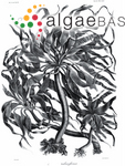 Postelsia palmaeformis Ruprecht