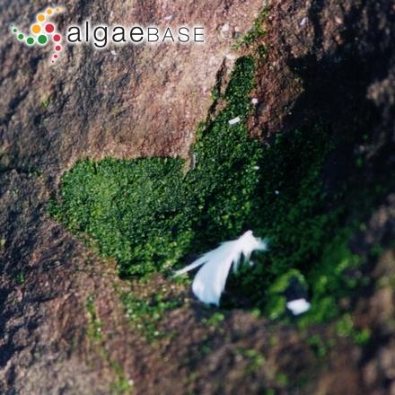 Oligocladus pusillus Weber Bosse