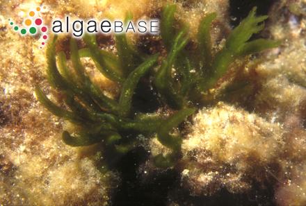 Spongomorpha sonderi (Kützing) Kützing